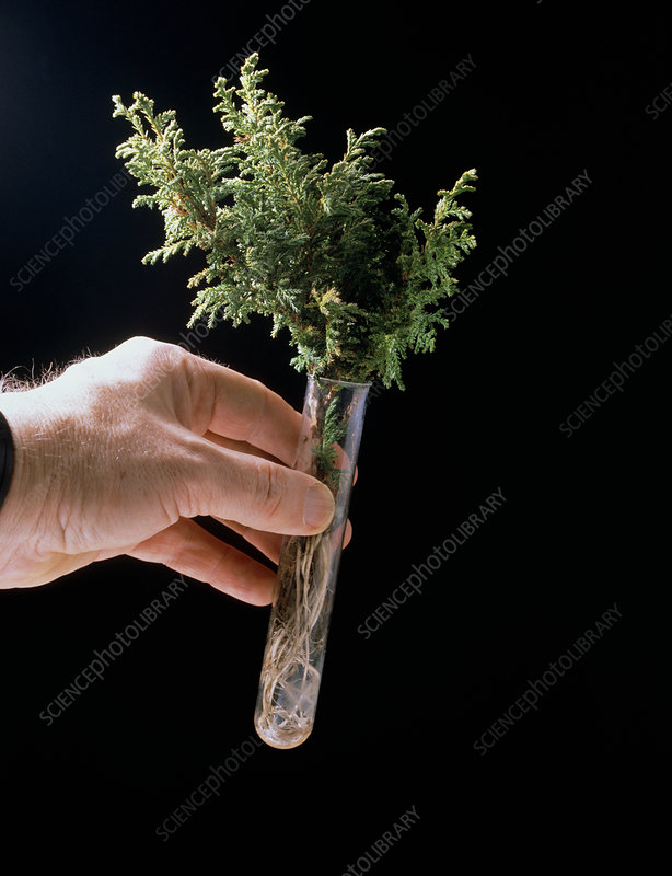 Plant biotech: test tube containing plant cutting