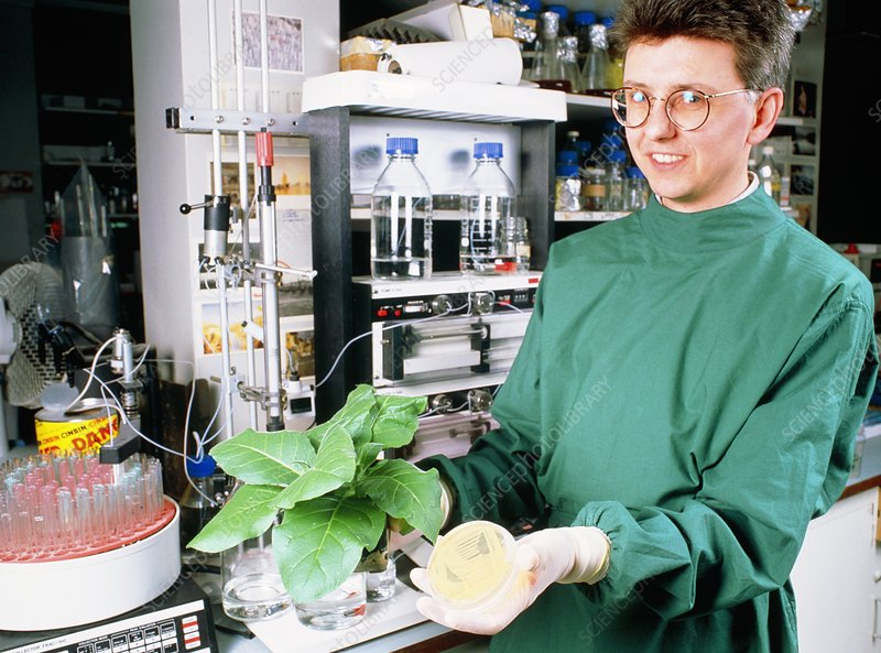 Scientist holds transgenic tobacco plant