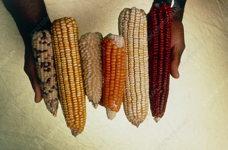 Assorted corn hybrids (genetic variables)