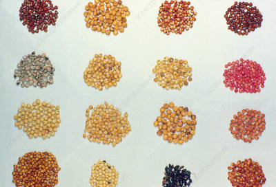 A collection of sweet sorghum seeds