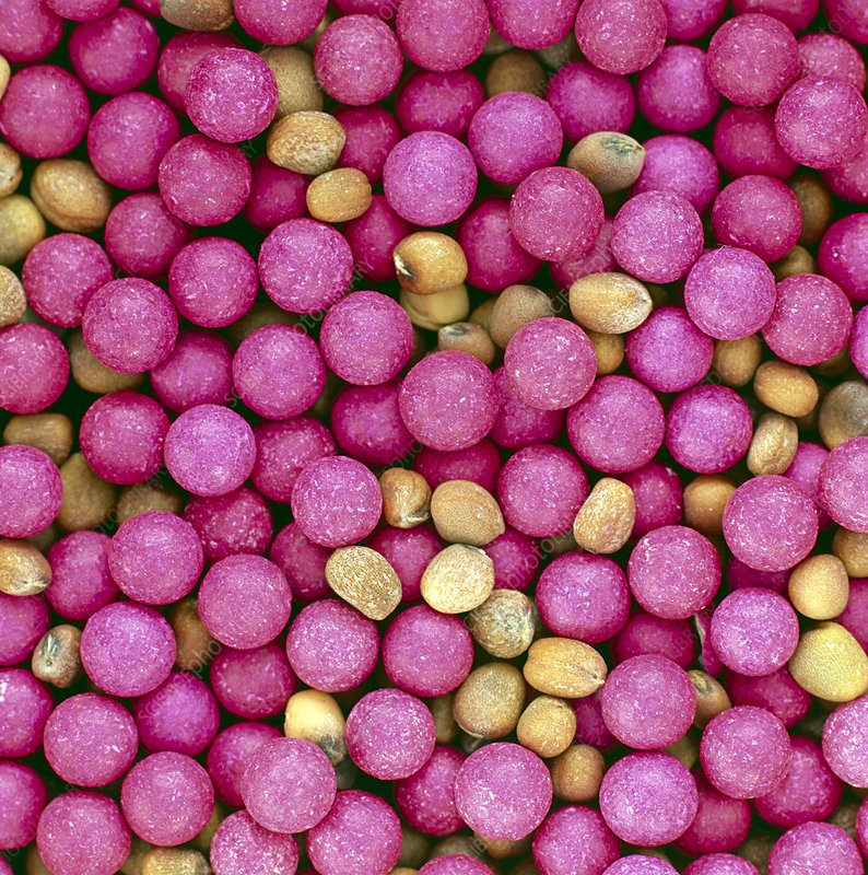 Coated cauliflower seeds and uncoated radish seeds