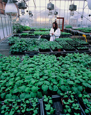 Watering plants in a biotechnology greenhouse