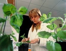Researcher inoculates plant with overcoat virus