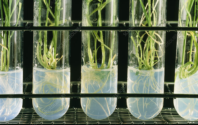 Cereal plants being grown from tissue culture