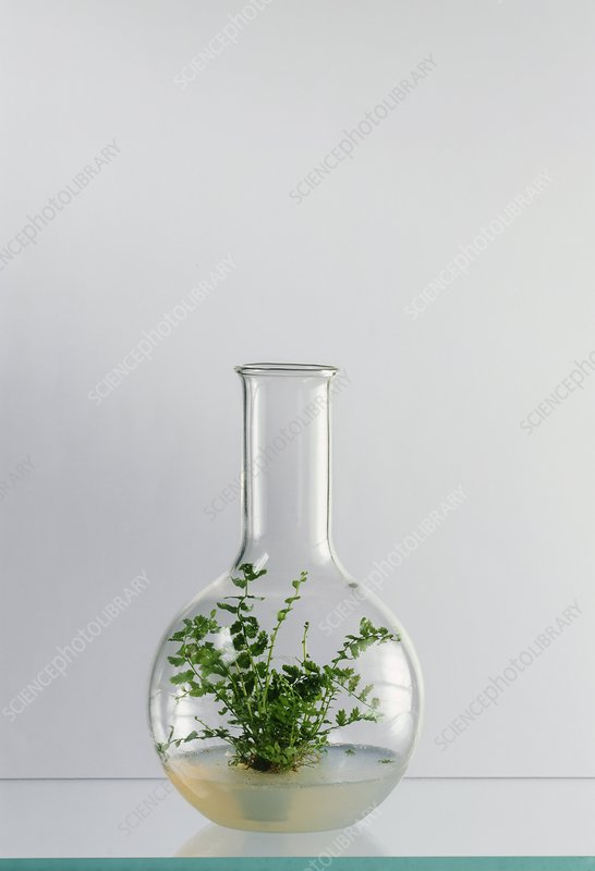 Fern being grown from a tissue culture