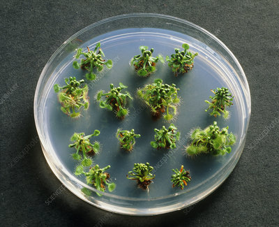 Sundew plants being grown from tissue cultures