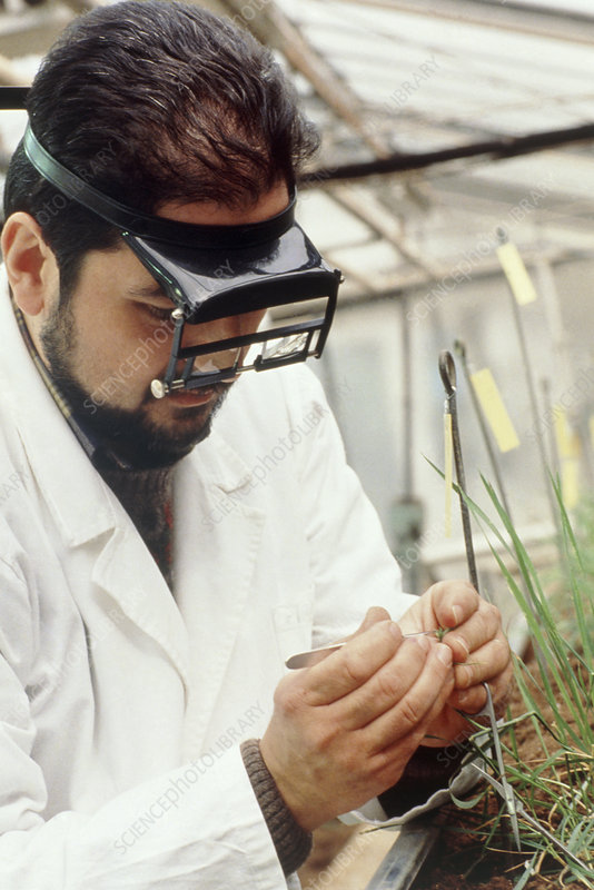 Researcher artificially hybridising wheat
