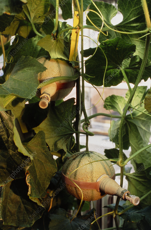 Measuring ethylene gas in transgenic melon plants