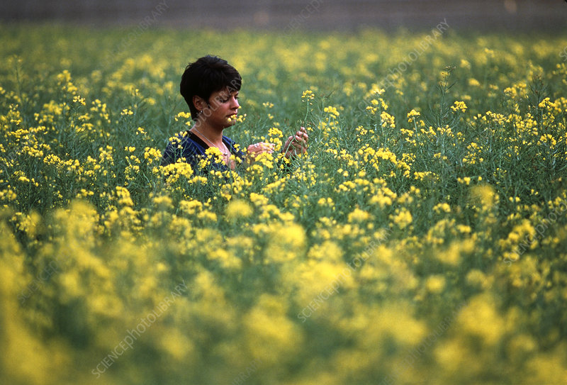 Researcher studies genetically modified rape field