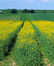 Field of genetically modified rape, Brassica napus