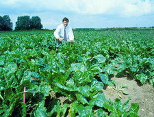 Genetically modified sugar beet field trial
