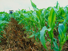Genetically modified maize field trial