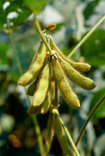 Genetically modified soya bean