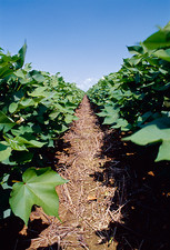 Genetically modified cotton plants