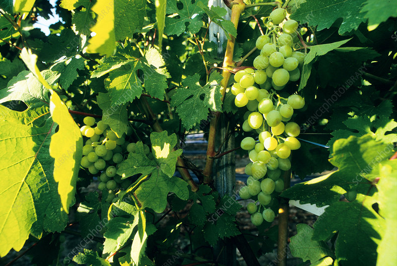 Transgenic grapes