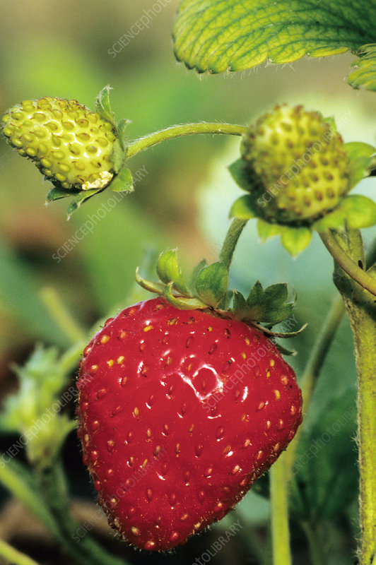 Transgenic strawberry