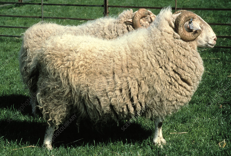 Transgenic sheep