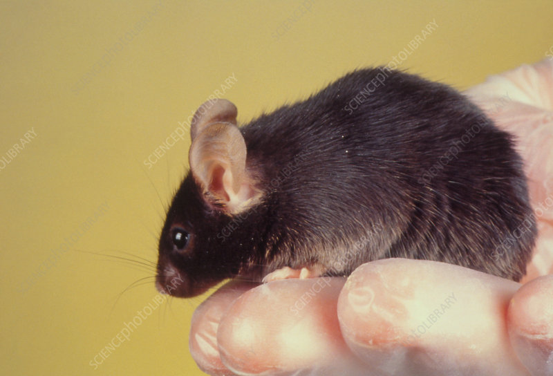 Transgenic mouse used for muscular dystrophy exp.
