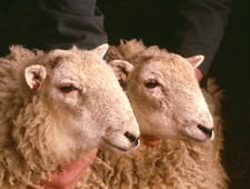 First mountain sheep clones