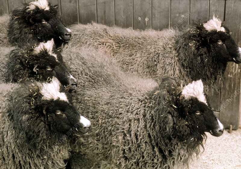 Group of five genetically-cloned sheep