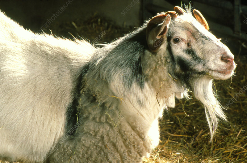 A chimera, a mixture of goat and sheep