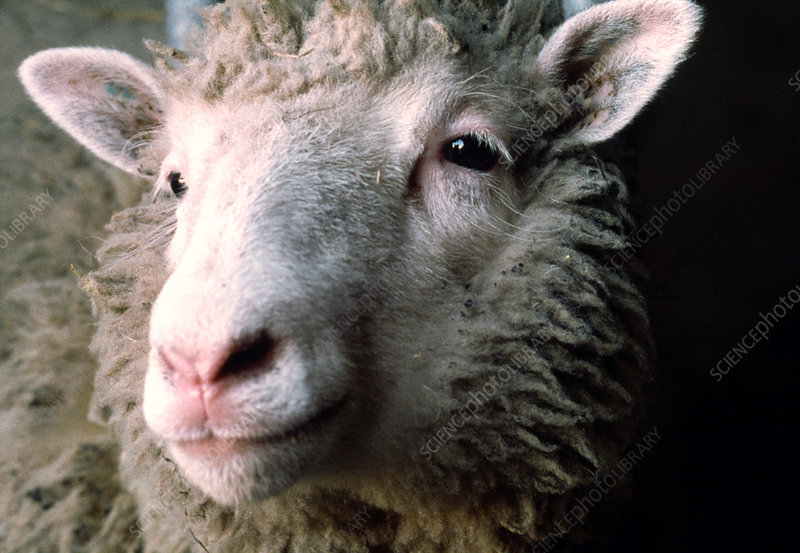 Dolly, the world's first adult sheep clone