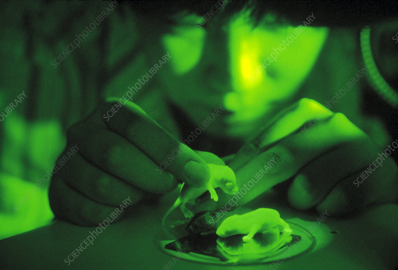 Fluorescent green transgenic mice with GFP gene