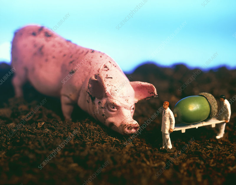 Conceptual image of farmers feeding a giant GM pig