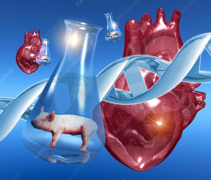 Genetically-engineered pig hearts