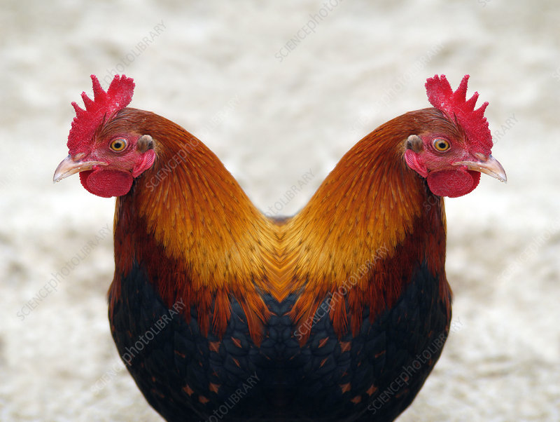 Cloned chicken, conceptual artwork