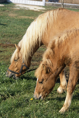 Prometea, the first cloned horse