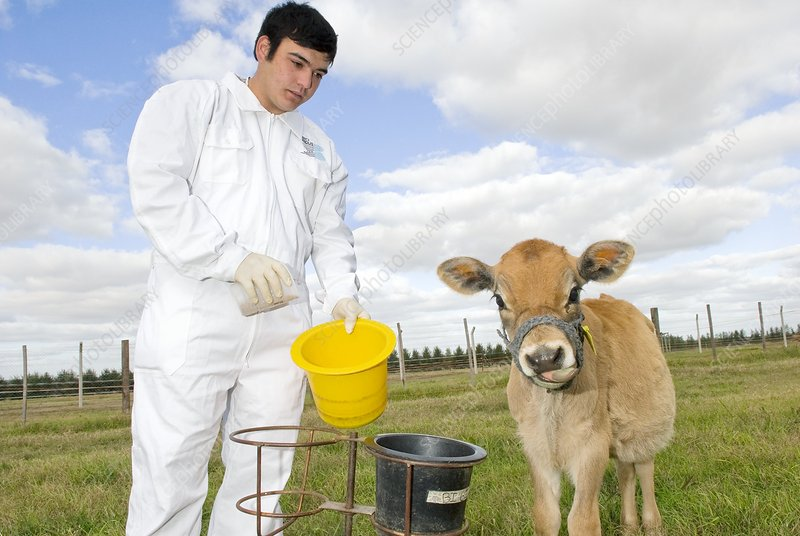 Cloned calf, bucket feeding