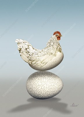 Transgenic chicken, artwork