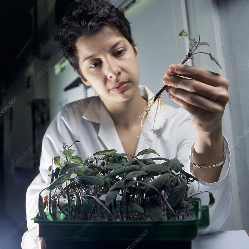 Sage plant research