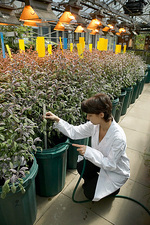 Hydroponic cultivation of sage plants