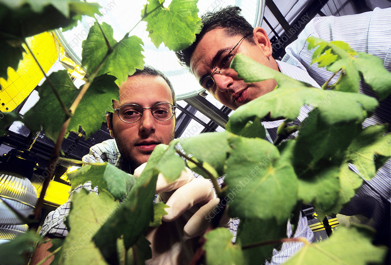 Grape vine DNA research