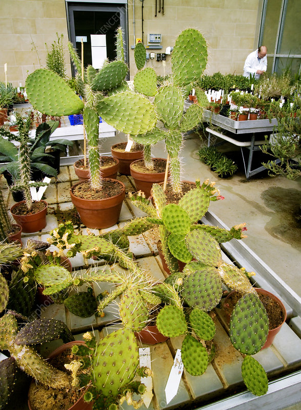 Cacti, Millennium Seed Bank