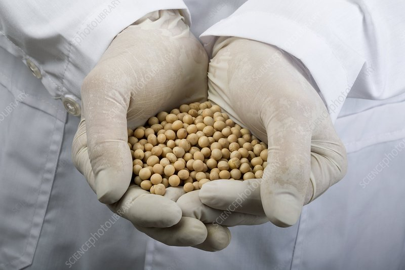 Scientist with a handful of soy beans