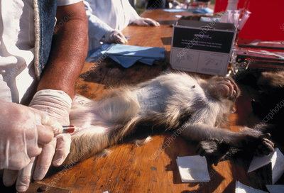 Taking blood sample from Rhesus Macaque for DNA