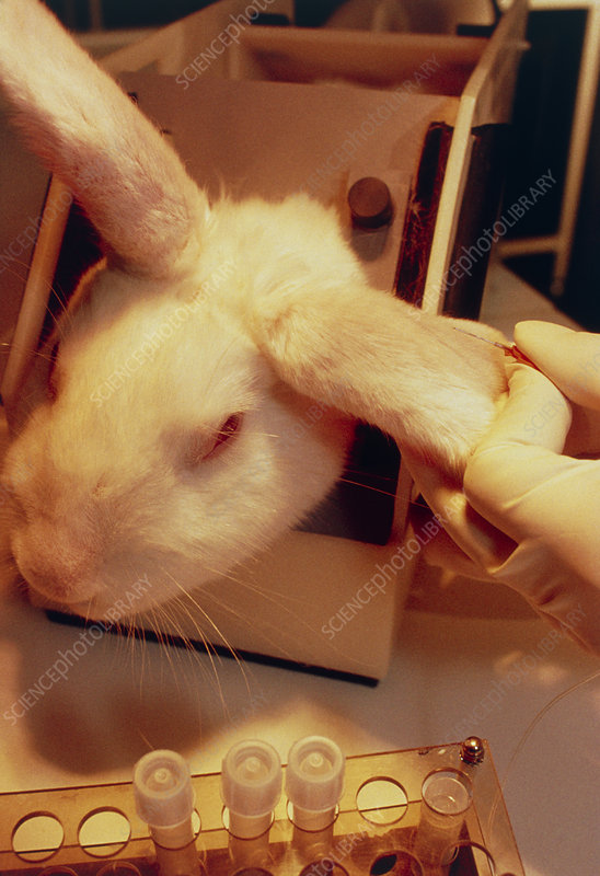 AIDS research: transgenic rabbit being injected