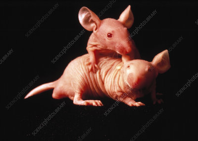 Nude mice used in animal experiments
