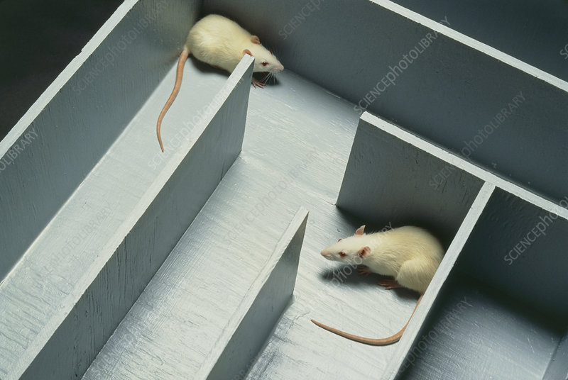 Two white laboratory rats in a maze