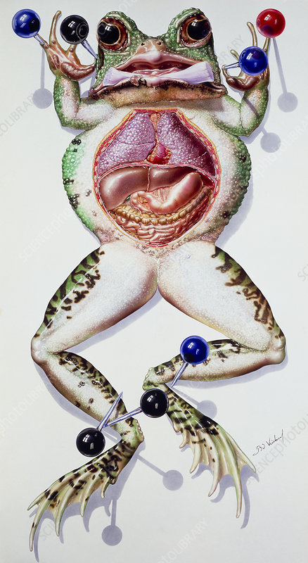 Artwork of a dissected laboratory frog