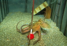 Octopus (Octopus vulgaris) in a learning test tank