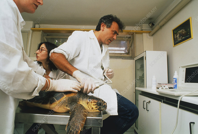 Biologists performing ultrasound scan of turtle