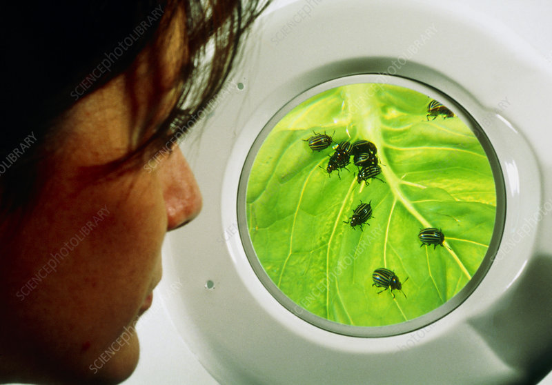 Biologist studying Colorado beetles on a leaf