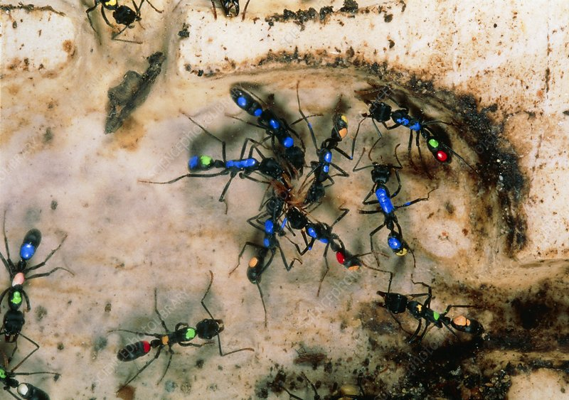 Colour-coded ants in an artificial nest
