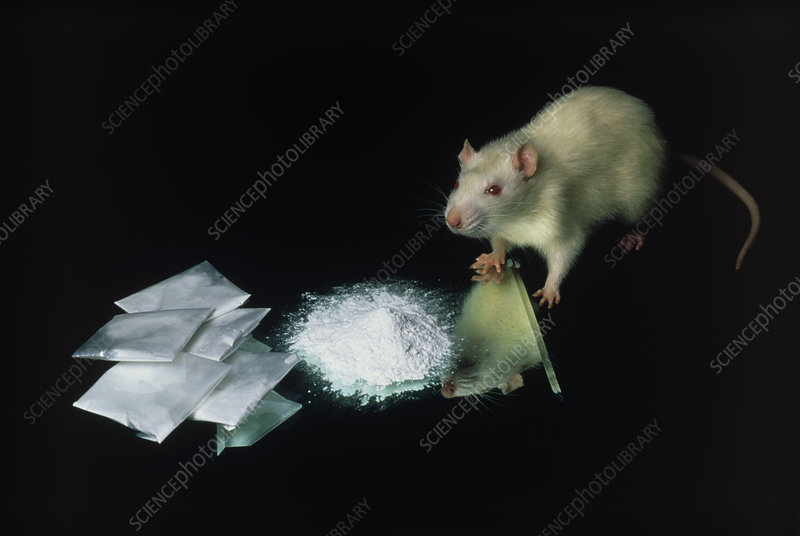 Rat with some cocaine