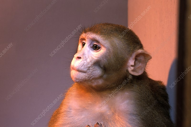 Primate research animal