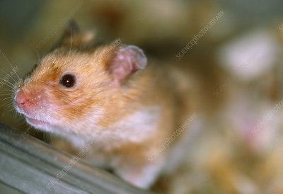 Medical research hamster